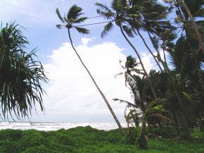 ココ椰子の木